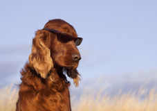 funny-dog-sunglasses-beautiful-irish-setter-male-taking-sun-bath-37639717