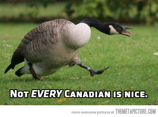 funny-angry-goose-canadian